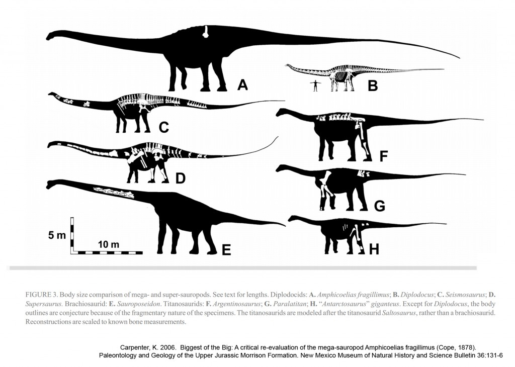 The relative size of Amphicoelias fragillimus compared to other sauropods